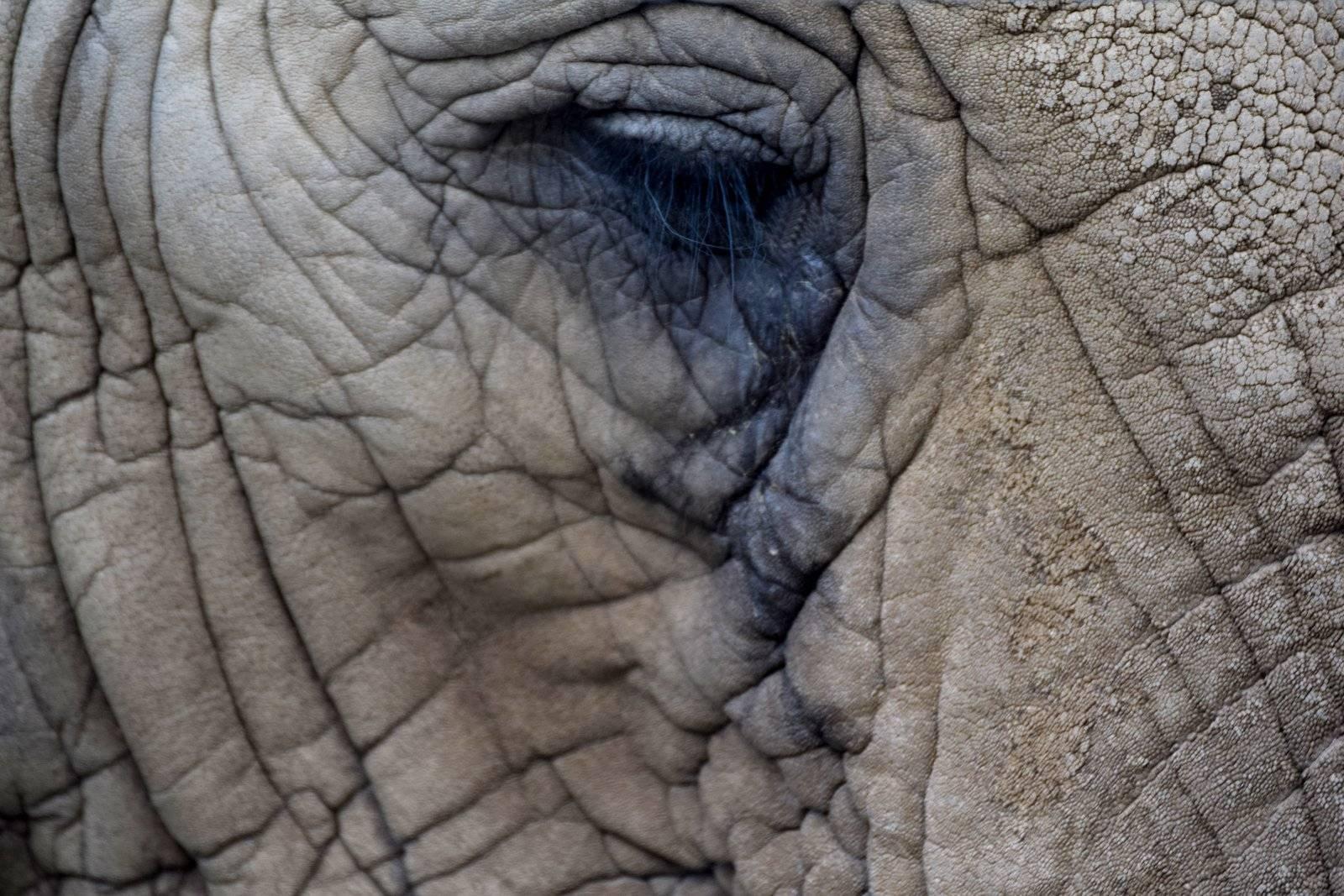 Elephant tears leave tracks
