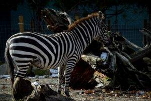 North end of a south bound zebra