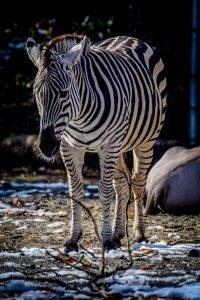 You can tell a zebra by it's stripes